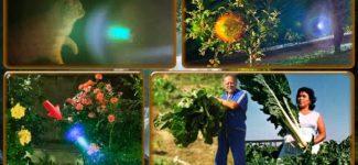 Alcyon Pléiades 30-3: Double jeu politique. Lumière photonique dans les roses, orbes, plantes géantes